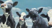 Nieuwe koeienschilderijen