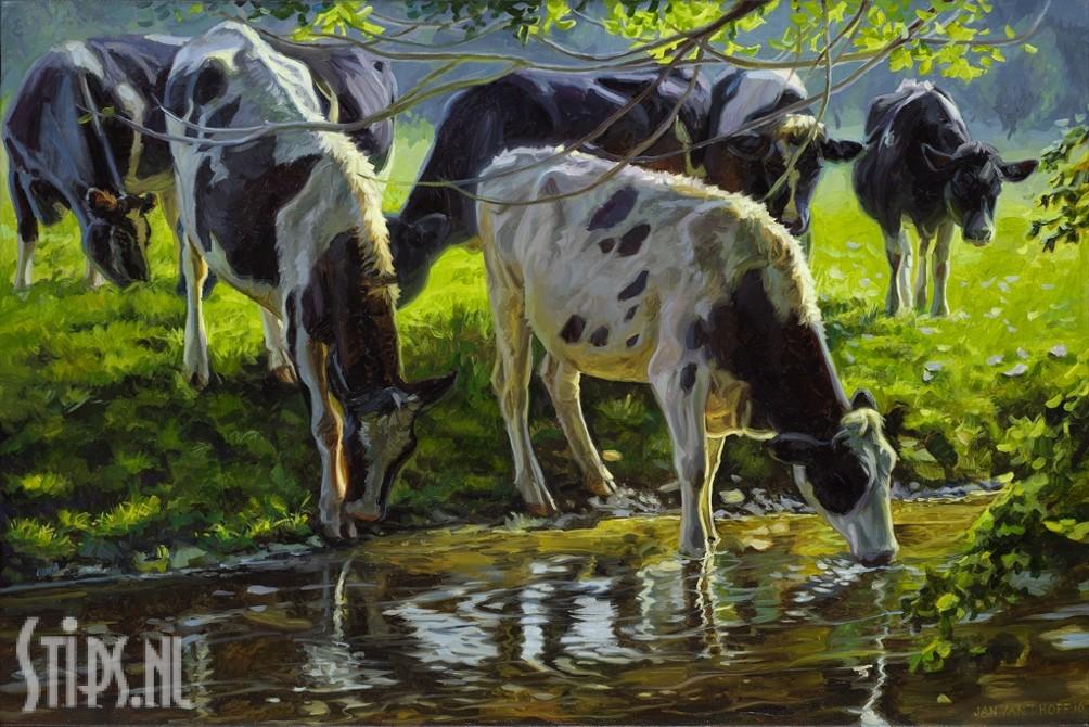 Zwartbont vee drinkend uit een beek – Jan van 't Hoff – giclee